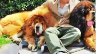 Tibetan Mastiff Dog 'sold For $2 Million' In China