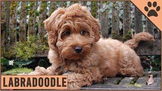Labradoodle Dog Breed Information | Dog World
