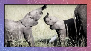 Baby Elephants   Trunk Wrestling in South Africa thumbnail