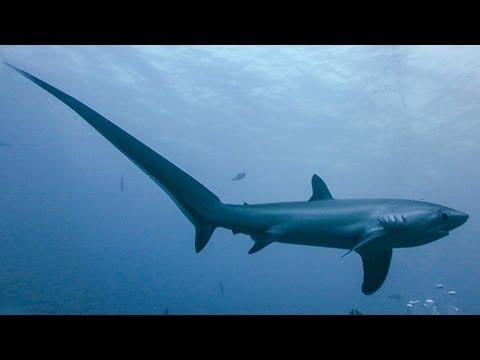 Image result for thresher shark