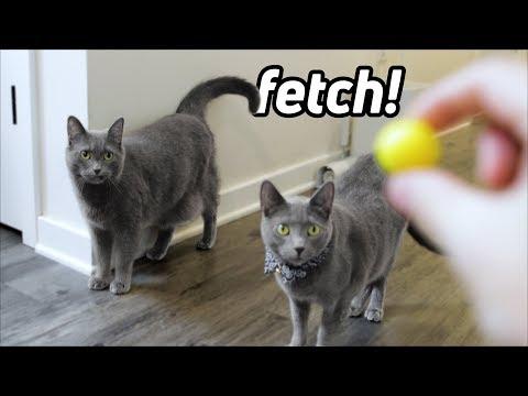 Russian Blue cat fetch like a dog!
