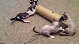 Котята Девон рекс. Игры с трубой