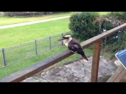 Kookaburra Feeding - Feed Me call