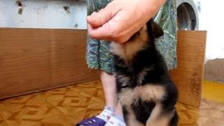 Начальная дрессировка щенка немецкой овчарки.Сантлаурис Идилия
