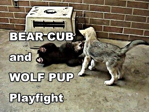 BEAR CUB and WOLF PUP PLAYFIGHT
