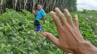 13) Bentuk buah cabe rawit  (Rajolay)..