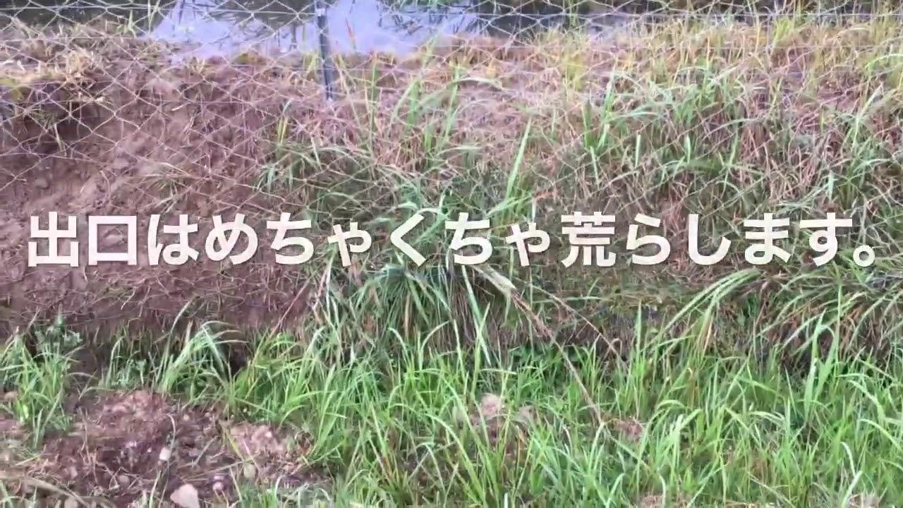 2020/8/8。楽農稲作。イノシシが言っていた様な話。今年、穂肥で転ける理由。