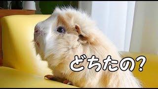 モルモットのモップ☆どちたの?の巻 thumbnail