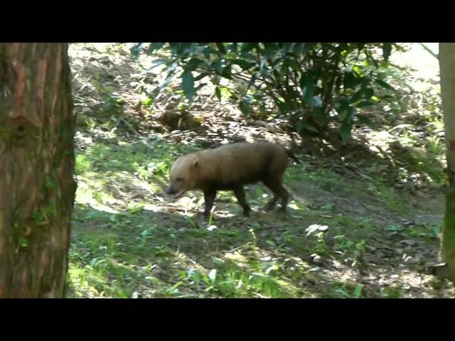 Bushdogs in GaiaPark ZOO