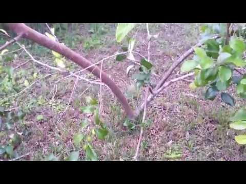 Easy to Grow JuJube Tree