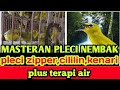 Masteran Pleci Nembak Pleci Zipper Cililin Kenari Plus Terapi Air  Mp3 - Mp4 Download