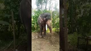 Shocking....Mangalamkunnu karnan trying to attack his second manhout