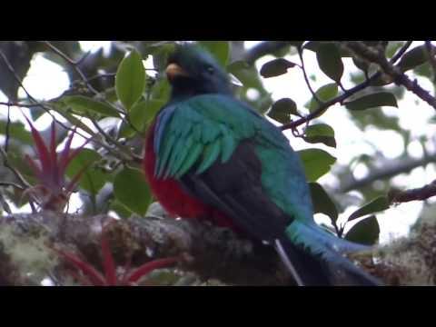 Resplendent quetzal singing