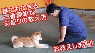 今回は誰でもできる一番簡単なお座りの教え方をお教えします! 特に柴犬...