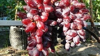 Виноград Байконур (Grape Baykonur) 2015