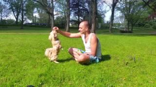 Команды, которые Кекс знает в пол года / Тренировка собаки (Пекинес / собака)