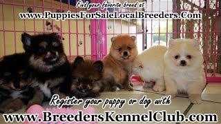 Pomeranian Dog Breeder Free Online Videos Best Movies Tv Shows
