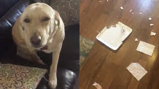 Dog Looks Guilty after Eating Owner's Dinner