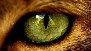 Кошки, глаз не оторвать. Самые красивые в мире породы кошек. 1