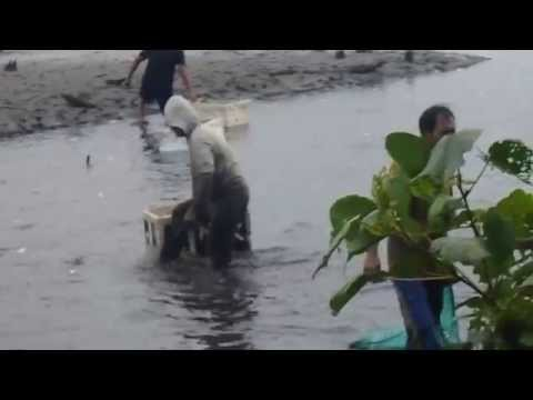 Wild fishing Panen Ikan Bandeng 2