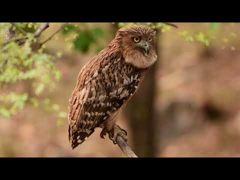Brown Fish Owl Calling Its Mate