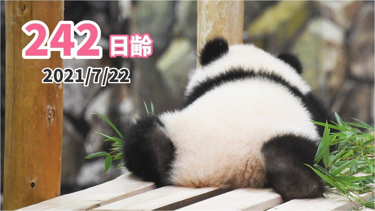 【パンダの赤ちゃん(楓浜)】遊んでいる子も寝る子も育つ(242日齢)