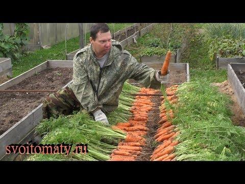 Урожайная морковь  Уборка и хранение