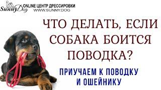 Что делать, если собака панически боится поводка? Приучаем взрослую собаку к поводку по видео