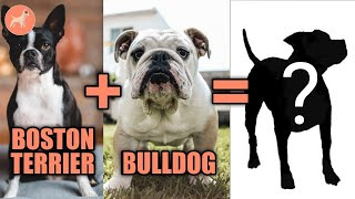 14 Boston Terrier Mix Breeds: Meet the Cutest Hybrids of This Famous Dog