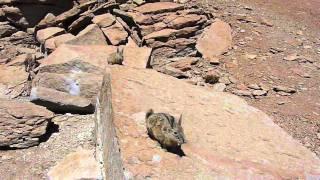 Viscachas, family of Chinchilla (wild)