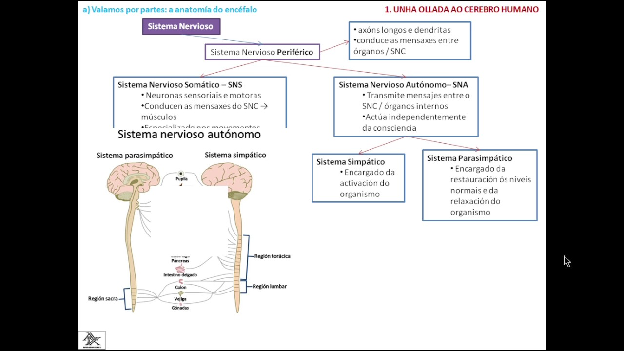 PPT B2 D3 Sistema nervioso periférico y sistema endocrino - YouTube