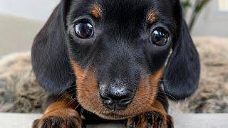 Playful dachshund puppies.