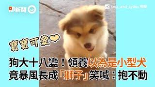 狗媽抱不動啦!以為領養小型犬 2年竟長到54kg成「大獅子」|阿拉斯加雪橇犬|大型犬|寵物