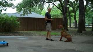Flower Mound Dog Training | Redeeming Dogs | Buddy The Rhodesian Ridgeback