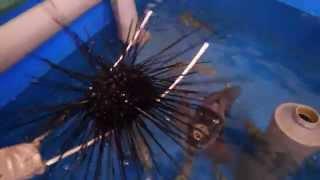 トゲがピンピンしている元気なウニも物ともしない 石鯛 底物釣りのご参考に 和歌山釣太郎