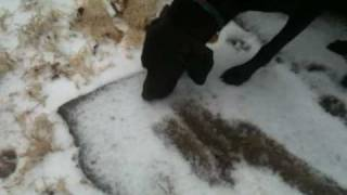 German Shorthaired Pointer Dog Eating Snow