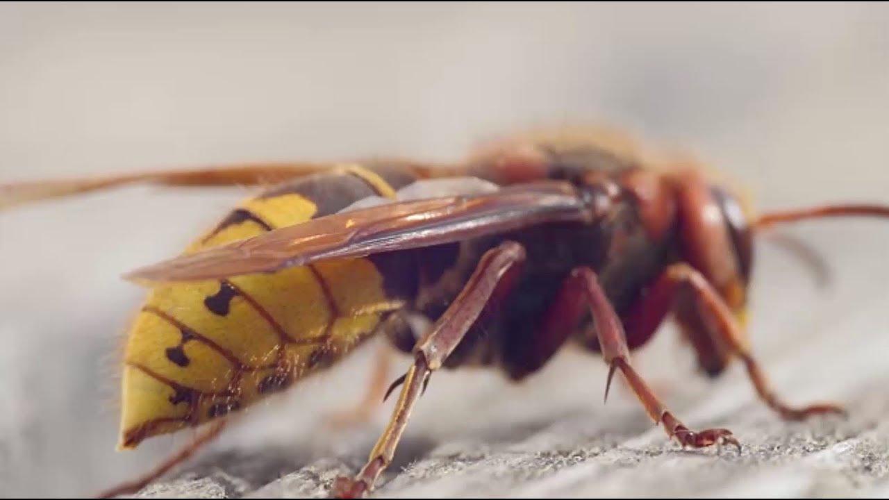 Unterschätztes Insekt: Hornissen sind die perfekte Waffe gegen Wespen