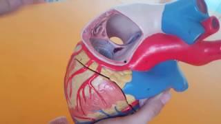 Kalp Anatomisi