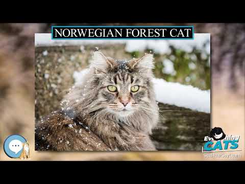Norwegian Forest cat 🐱🦁🐯 EVERYTHING CATS 🐯🦁🐱