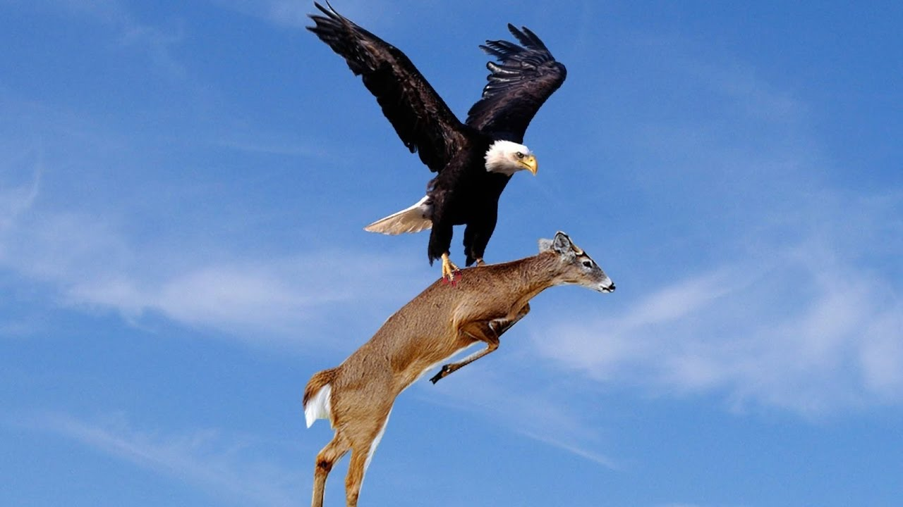 WoW!! Amazing Eagles Hunting!!!
