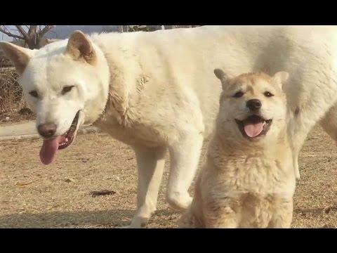 [69] 깡패같은 외동딸 강아지 장금이가 귀여운 엄마 진돗개 복실이 / An incurable baby dog like a bully