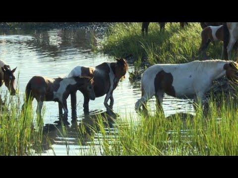El asombroso nado de los ponis salvajes de Chincoteague en EEUU