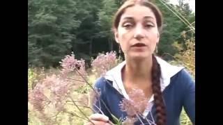 Валериана: выращивание и сбор, состав и действие на организм