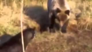 охота на медведя с собаками   YouTube