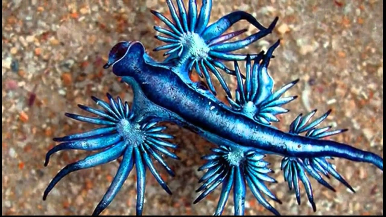 blue dragon fish images galleries