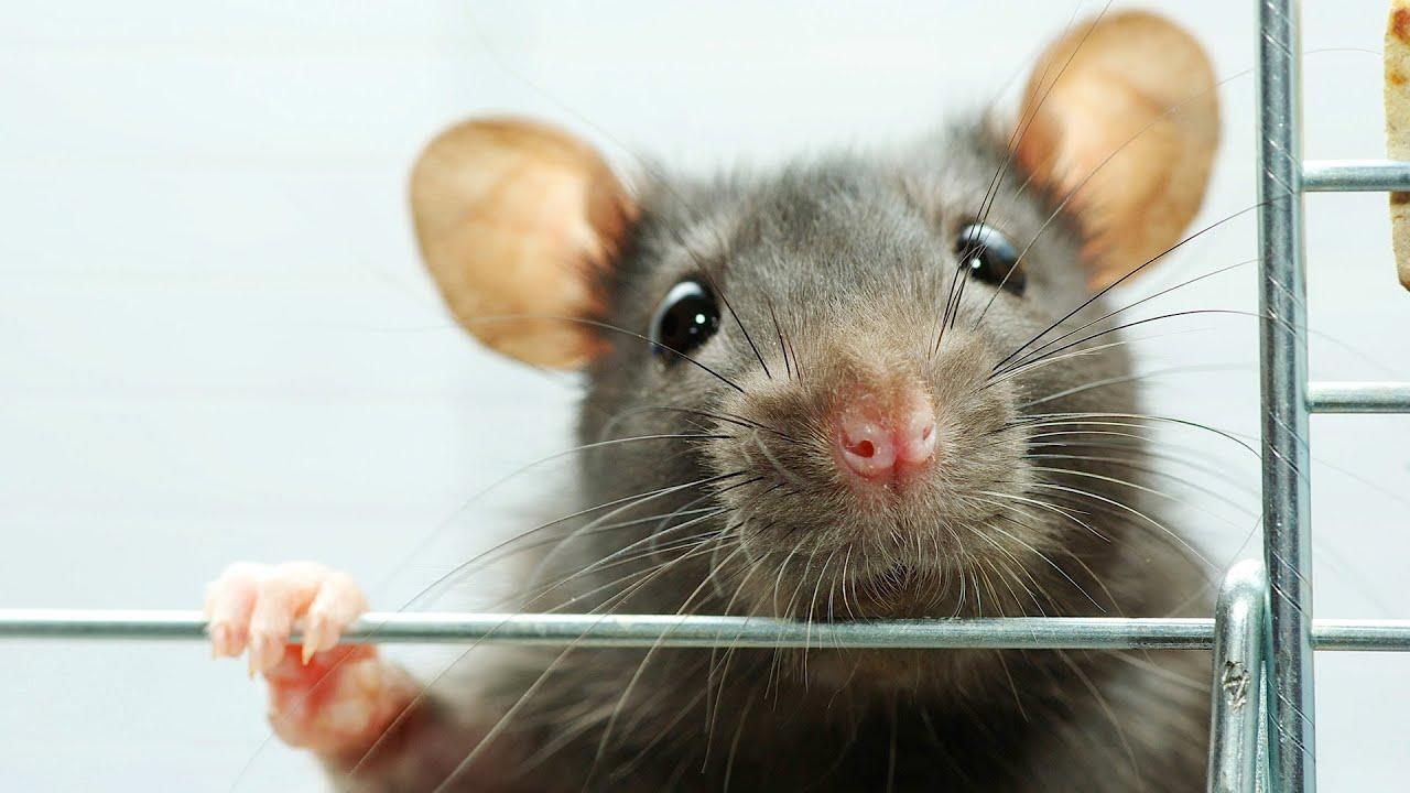 Rat Rescue Amp Adoption Pet Rats Youtube