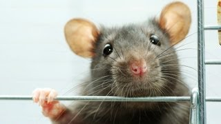 Rat Rescue & Adoption | Pet Rats