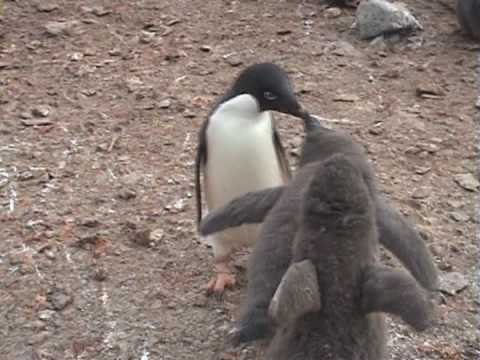Adelie Penguins feeding their Chicks - Antarctica