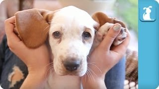 Cuddle With A Wrinkly Basset Hound Puppy