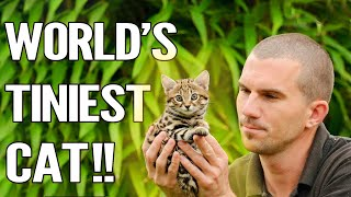 Rusty Spotted Cat : Everything About The World's Smallest Cat !!